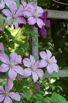 Clematis is used as an essence in Bach Flower Therapy, istockphoto, used with permission