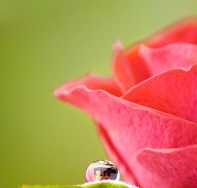 Preserve roses by flower pressing, istockphoto, used with permission