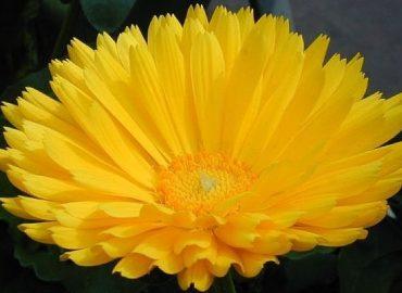 Calendula flower, Karen Stephenson, photo used with author's permission