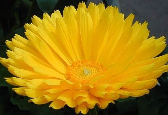 Calendula flower, Karen Stephenson, photo used with author's permission