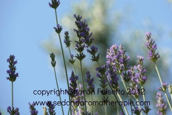 Use lavender buds to fragrance you home! copyright Sharon Falsetto, all rights reserved