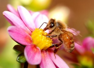 Beeswax is made by bees, istockphoto, used with permission