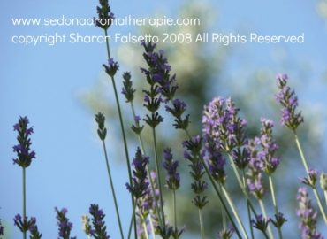 Lavender aromatherapy, copyright Sharon Falsetto, all rights reserved