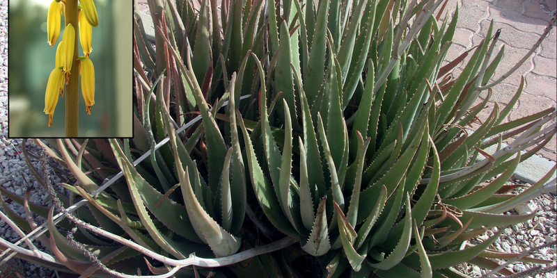 Aloe vera for aromatherapy, en:User:MidgleyDJ, wikimedia commons