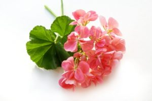 Geranium essential oil in aromatherapy practice, istockphoto, used with permission