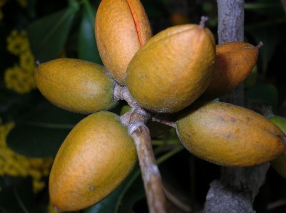 Stearic acid is found in cocoa butter, derived from the cacao tree, istockphoto, used with permission