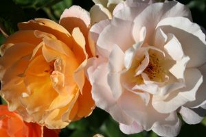 Choose Roses with a Fragrance Before the Color, Chuck Eirschele
