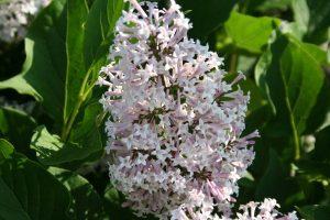 Lilac Panicle Flower, Chuck Eirschele