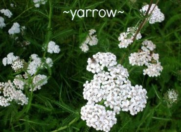 Yarrow, used as an essential oil in aromatherapy, copyright Sharon Falsetto, All Rights Reserved