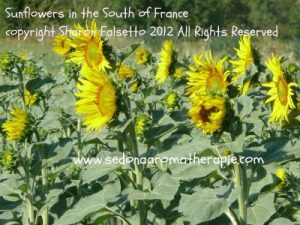 Sunflowers in the South of France, copyright Sharon Falsetto, all rights reserved
