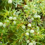 Juniper can be used in seasonal decorations, istockphoto, used with permission