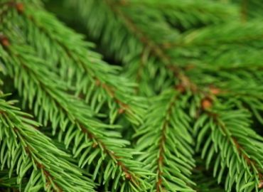 Pine trees are aromatic for the Holidays, istockphoto, used with permission