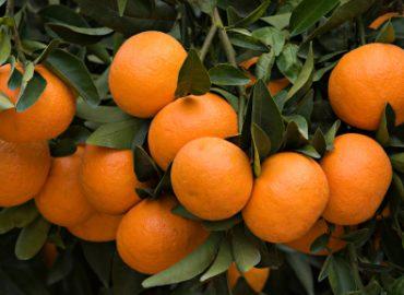 Tangerine Essential Oil: Photo Credit, ISP