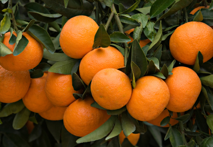 Tangerine Essential Oil: Photo Credit, ISP