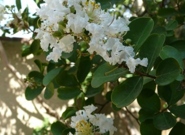 Crape Myrtle: Photo Credit, Sharon Falsetto