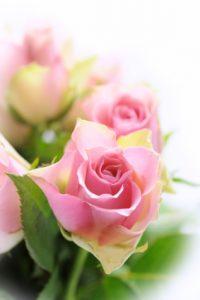 Rose as an Essential Oil: Photo credit: Felinda ISP