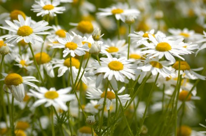 Chamomile as an essential oil, photo credit: Mikhail Bistrov, ISP