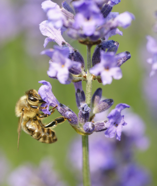 Lavender as an essential oil for bath and body products: Photo credit, ISP