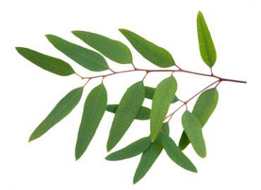 Eucalyptus Essential Oil: Photo Credit, ISP