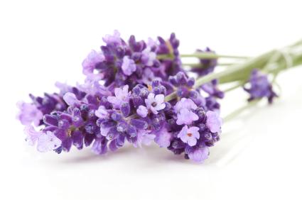 Lavender or Spikenard? Photo Credit: ISP