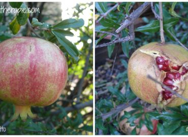 Pomegranate for Aromatherapy: Photo Credit and Copyright, Sharon Falsetto