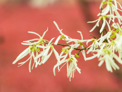 Witch Hazel: Photo Credit, ISP