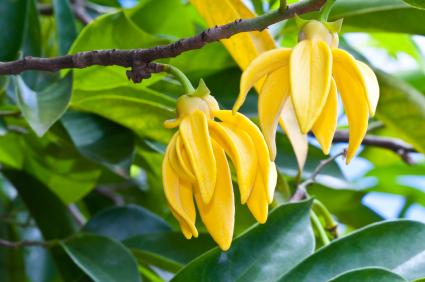 Ylang-Ylang and Cananga Essential Oils: Photo Credit, ISP