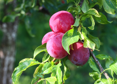 Plums for Plum Kernel Oil: Photo Credit, Fotolia