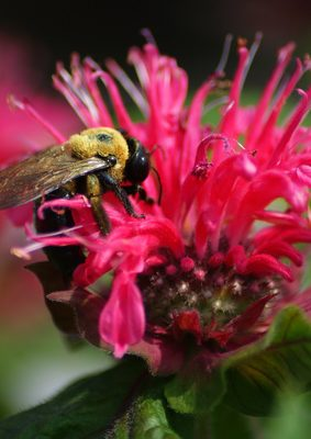 Bergamot or Bee Balm? Photo Credit: Fotolia