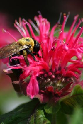 Bergamot or Bee Balm? Photo Credit: Fotolia