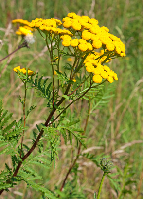 Tansy, Tanacetum vulgare: Photo Credit, Fotolia