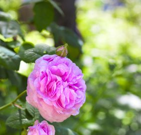 Rosa centifolia is a parent plant of Rosa damascena: Photo Credit, Fotolia