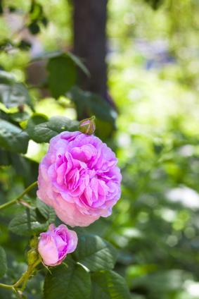 Rosa centifolia is a parent plant of Rosa damascena: Photo Credit, Fotolia