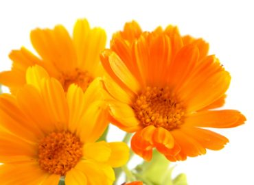 The Flowers of Calendula are Used as an Infused Flower Carrier Oil