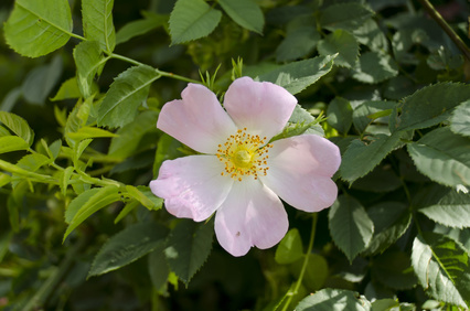 Rosaceae Plant Family: Photo Credit, Fotolia