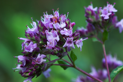 Origanum vulgare Inflorescence: Photo Credit, Fotolia