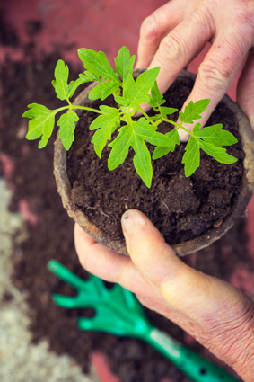 Organic Plants for Essential Oils, Carrier Oils, and Hydrosols: Photo Credit, Fotolia