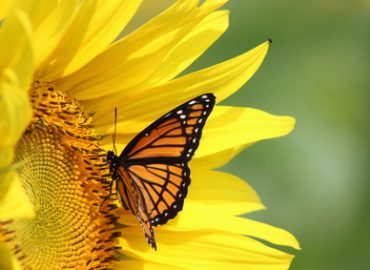 Aromatic Plants for Butterflies: Photo Credit, Fotolia