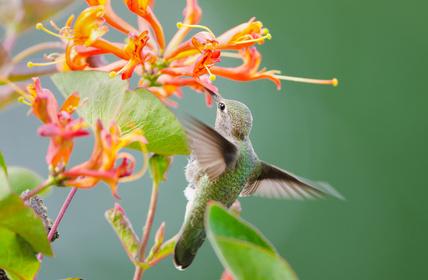 Hummingbirds and Honeysuckle: Photo Credit, Fotolia