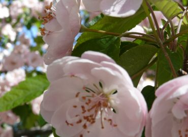 Cherry Blossoms in Santa Fe, New Mexico: Copyright Sharon Falsetto