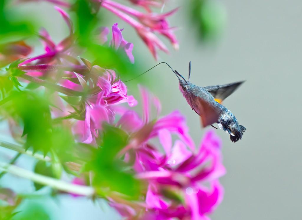 Aromatic Flowers and Moths: Hummingbird Moth, Photo Credit: Fotolia