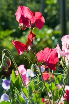 Sweet Pea Flowers for the Aromatic Cottage Garden