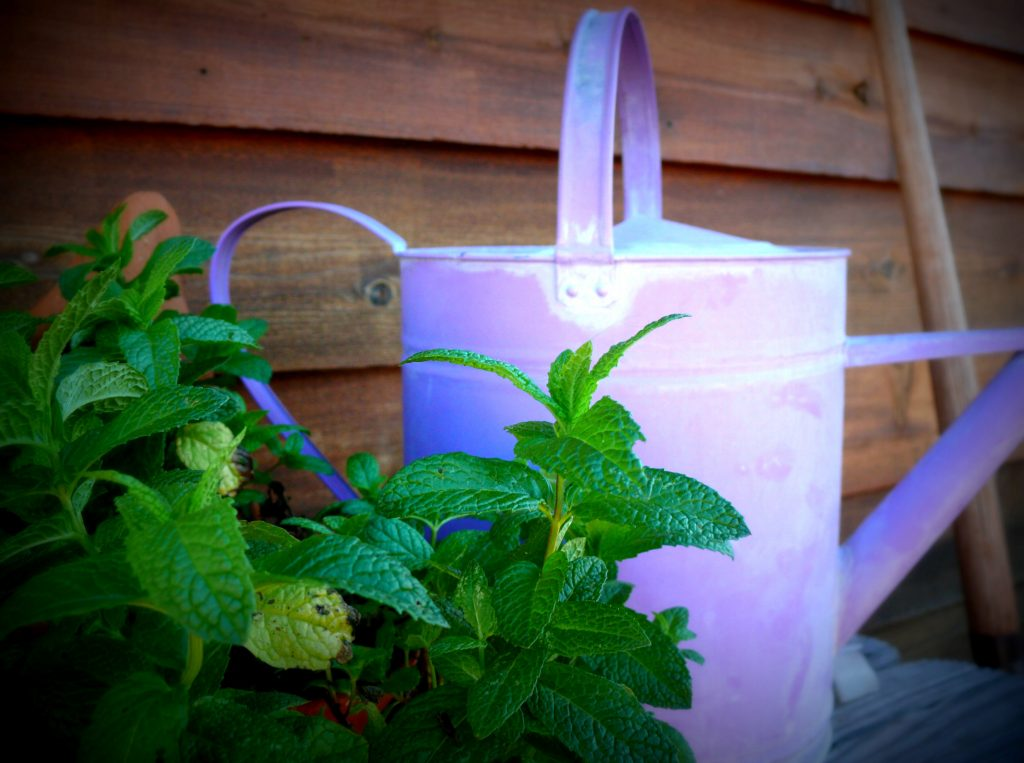 Herbs and old watering cans can add function and charm to your aromatic cottage garden: Photo Copyright Sharon Falsetto, All Rights Reserved