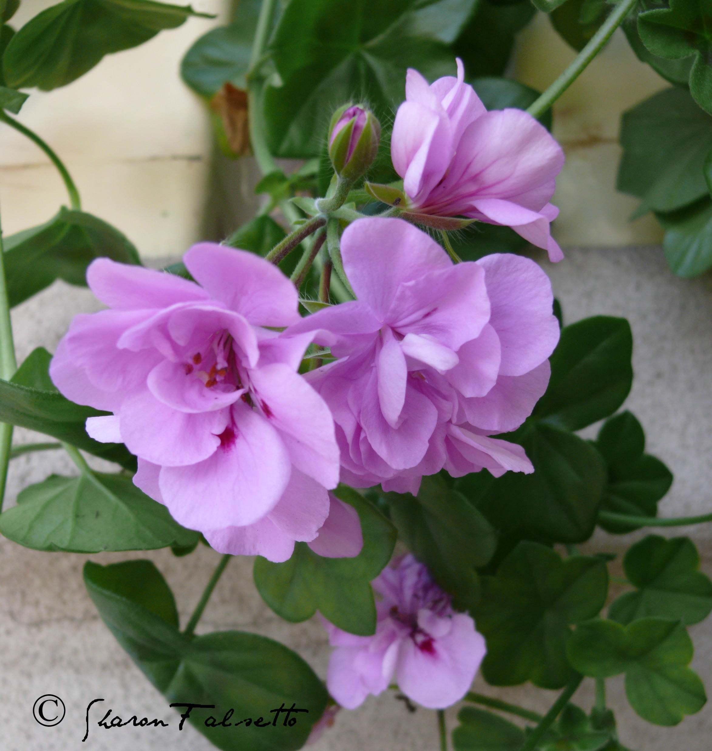 Pelargoniums And Geraniums For Aromatic Use Sedona Aromatics