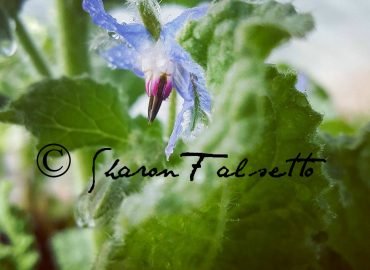 Beautiful Blue Borage: Copyright Sharon Falsetto, All Rights Reserved