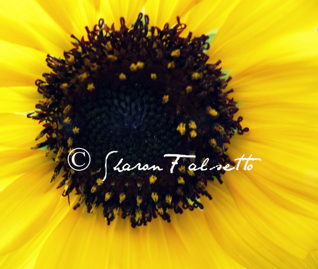 Inside of a Sunflower in Color: Copyright Sharon Falsetto, All Rights Reserved