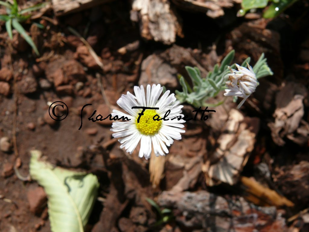 Lone Daisy: Copyright Sharon Falsetto, All Rights Reserved