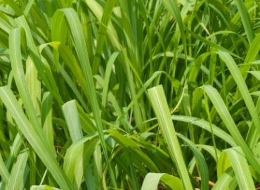 Citronella is an Aromatic Grass Used as an Essential Oil