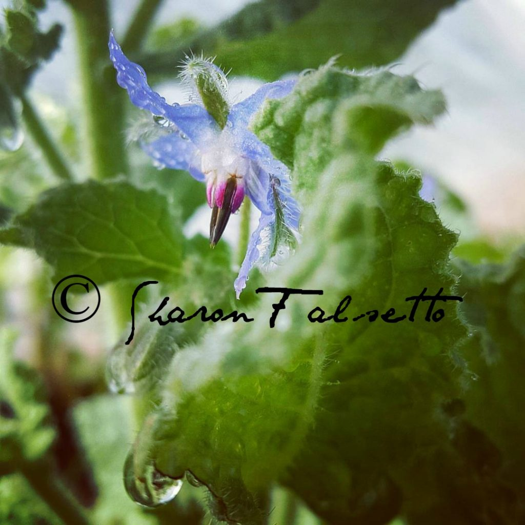 Beautiful Blue Borage May Cause Phytodermatitis; Photo Copyright Sharon Falsetto All Rights Reserved