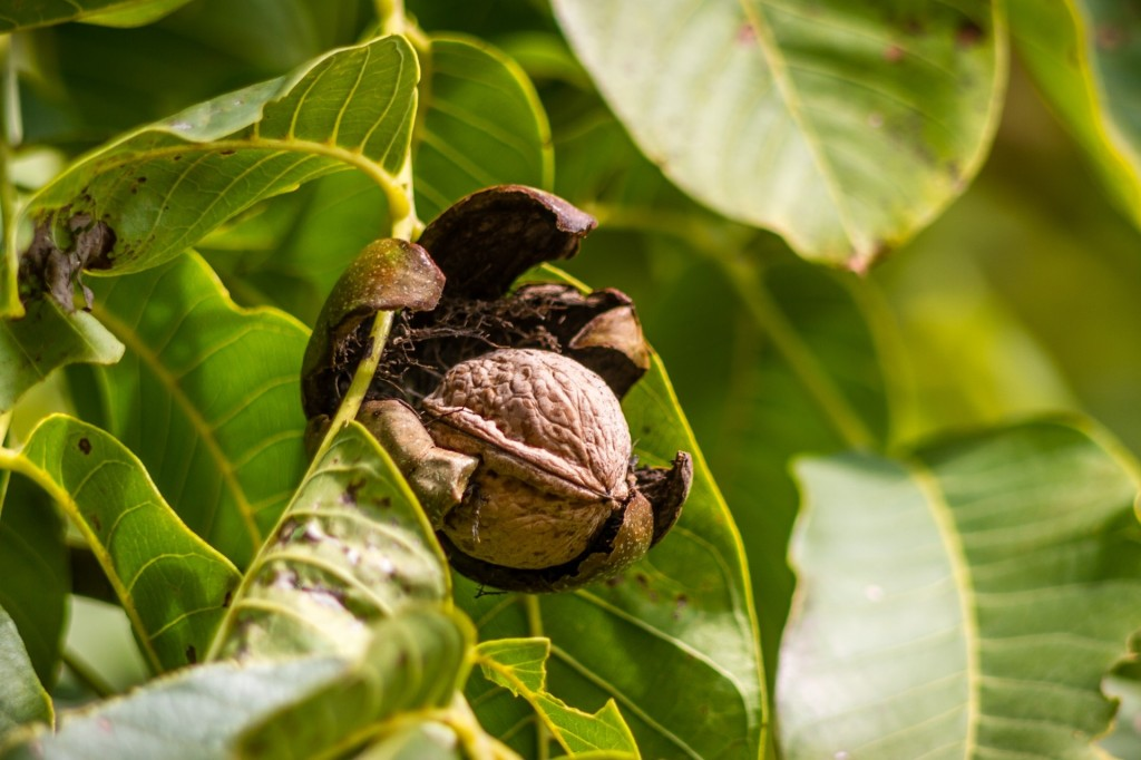 Walnut Oil for Aromatherapy